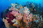 Soft corals, Dendronephthya sp., and tropical fish cover a coral reef, Raja Ampat, West Papua, Indonesia, Pacific Ocean