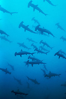 schooling scalloped hammerhead shark, Sphyrna lewini, Cocos Island, Costa Rica, Pacific Ocean