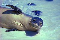 The endangered Hawaiian monk seal, latin name: monachus schauinslandi, off the coast of Kure atoll, in the Northwest Hawaiian island chain