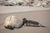 Hawaiian monk seal, Neomonachus schauinslandi ( Critically Endangered species, endemic to Hawaiian Islands ), nursing two week old pup, Waimanu Valley, Hawaii Island ( Pacific Ocean )