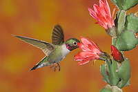 Broad-tailed Hummingbird, Selasphorus platycercus,male in flight feeding on Cactus blossom,Rocky Mountain National Park, Colorado, USA, June 2007