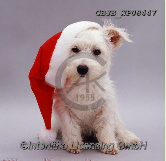 Kim, CHRISTMAS ANIMALS, WEIHNACHTEN TIERE, NAVIDAD ANIMALES, fondless, photos+++++,GBJBWP08447,#xa#