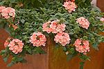 Tuscany Peach Garden Verbena hybrid