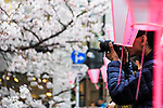 A man takes pictures of the cherry blossoms in full bloom at Meguro river in Nakamegurgo on April 1, 2016, Tokyo, Japan. On Thursday, the Japan Meteorological Agency announced that Tokyo's cherry trees were in full bloom, three days earlier than usual, but two days later than last year. Meguro River runs for about 7.82km through Setagaya, Meguro and Shinagawa wards in downtown Tokyo, and many visitors come to see the cherry blossom trees along the river banks in spring. (Photo by Rodrigo Reyes Marin/AFLO)