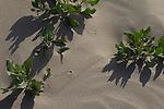 Hanford Reach National Monument, Wahluke Slope, sand dunes, beetle tracks, Columbia Basin, eastern Washington, Washington State, Pacific Northwest, USA, North America,