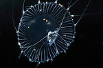 Jellyfish, Aequorea with amphipods