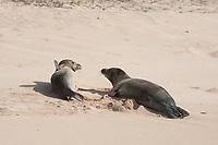 Hawaiian monk seals, Neomonachus schauinslandi, Critically Endangered endemic species, west end of Molokai, USA, Pacific Ocean