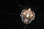 Pictured:  Orb web spider ( Eriovixia laglaizei)<br /> <br /> A series of spellbinding close-up images of insects make them look like aliens.  Amateur photographer Marcus Kam Seong Sit captured the macro shots of a range of bugs including the longhorn beetle and bird dung spider. <br /> <br /> The pictures detail the intricate features and patterns of the insects - from the vibrant green of a dragon head caterpillar to the delicate hairs on an orb web spider.  SEE OUR COPY FOR DETAILS.<br /> <br /> Please byline: Marcus Kam/Solent News<br /> <br /> © Marcus Kam/Solent News & Photo Agency<br /> UK +44 (0) 2380 458800
