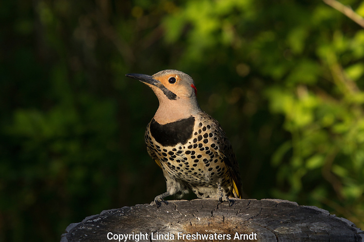 Northern Flicker - Male