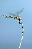 Four-spotted Pennant (Brachymesia gravida) Dragonfly - Juvenile Female, Tierra Verde Pond, Tierra Verde, Pinellas County, Florida