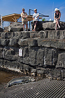 government officials and locals keeping eyes on Hawaiian monk seal, Neomonachus schauinslandi, basking at boat ramp, young male, critically endangered, Honokohau Harbor, Kona Coast, Big Island, Hawaii, USA, Pacific Ocean
