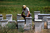 Beekeeper working on Honeycomb from Beehives on Field, South Okanagan Valley, BC, British Columbia, Canada - Beekeeping