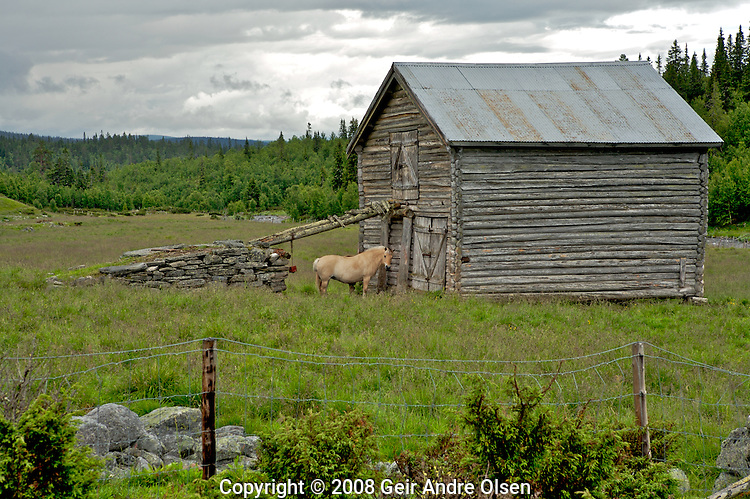Horse standing in the field outside an old barn at Venabygd, Norway