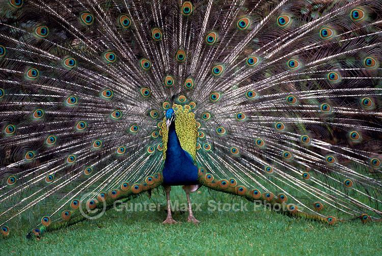 Indian Blue Male Peacock (Pavo cristatus) performing Mating Ritual