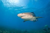lemon shark, Negaprion brevirostris, Bahamas, Atlantic Ocean