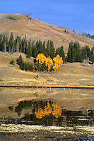 Aspens at their peak grace the banks of Swan Lake, in the northern end of Yellowstone, near Mammoth. Canada geese enjoy the warm fall day as well.