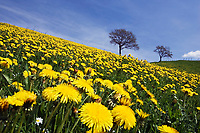 Dandelion meadow, Taraxacum officinale, Upper Bavaria, Germany
