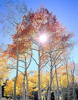 Sunburst through a red-hued aspen tree, near Telluride, Colorado