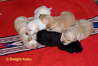 SH36-508z  Lab Dogs, 2 week old young, genetic variations of black, yellow, cream [white], Labrador Retriever