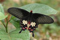 .Common Rose Butterfly (Pachliopta aristolochiae), Papilionidae, adult, Erawan National Park, Thailand
