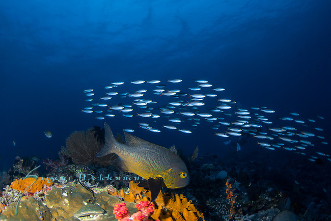 School of fish with Midnight Snapper