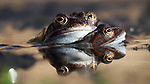 Spring is in the air - frogs come together in Welsh ponds by Simon Batty