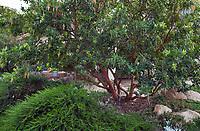 Arbutus 'Marina' flowering in California native plant garden; Vincent Garden