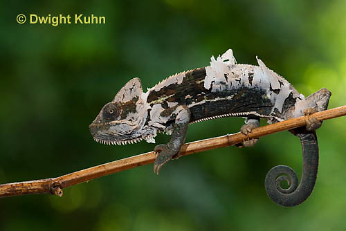 CH50-519z Female Veiled Chameleon molting old skin, Chamaeleo calyptratus