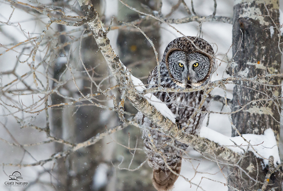 """Great Grey Owl (Strix nebulosa) gives the photographers """"The Look.""""  Owls have a presence, and as this one's name implies - its presence is impressive.  Alberta, Canada."""