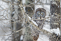 "Great Grey Owl (Strix nebulosa) gives the photographers ""The Look.""  Owls have a presence, and as this one's name implies - its presence is impressive.  Alberta, Canada."