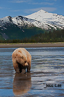 A photo of a coastal brown bear on the beach with the snow covered mountains in the background. Grizzly Bear or brown bear alaska Alaska Brown bears also known as Costal Grizzlies or grizzly bears Grizzly Bear Photos, Alaska Brown Bear with cubs. Purchase grizzly bear fine art limited edition prints here Grizzly Bear Photo Bear Photos,