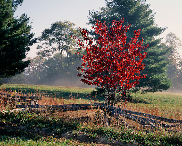 Morning light on a Dogwood tree in fall color; Pipestem State Park, WV
