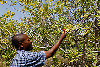 BURKINA FASO, Gao, farm with cashew trees, cashew fruit wit nut at tree / Anbau von Kaschunuessen, Kaschufrucht mit Nuss