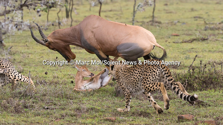 Pictured:  Sequence 5 of 11: The female Topi chases the cheetahs away from her calf, but sadly knocks over her calf in the melee.<br /> <br /> An antelope accidentally crashes into its young calf as flee from five cheetahs.  The female topi had been grazing peacefully with the youngster before the predators attacked.<br /> <br /> Fortunately the pair were eventually able to escape by sprinting away from the hungry cheetahs.  The dramatic images were captured in the Naobosho Conservancy, on the Mara Reserve in Kenya by photographer Marc Mol.  SEE OUR COPY FOR DETAILS.<br /> <br /> Please byline: Marc Mol/Solent News<br /> <br /> © Marc Mol/Solent News & Photo Agency<br /> UK +44 (0) 2380 458800