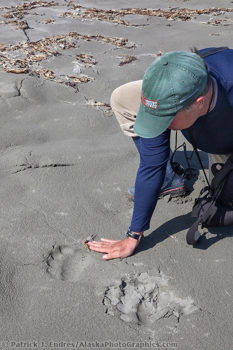 Brown bear tracks on a sandy beach on Kayak Island, Gulf of Alaska, southcentral, Alaska.