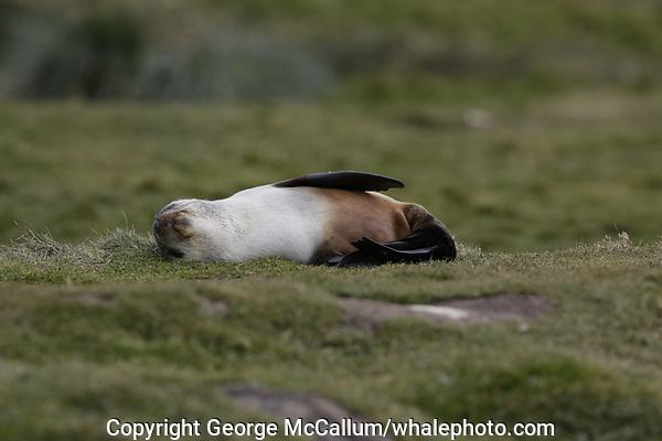 Antarctic Fur seal, Arctocephalus gazella , pups lying on grass at Gryviken whaling station South Orkney Islands, Scotia sea Southern Ocean, Antarctica