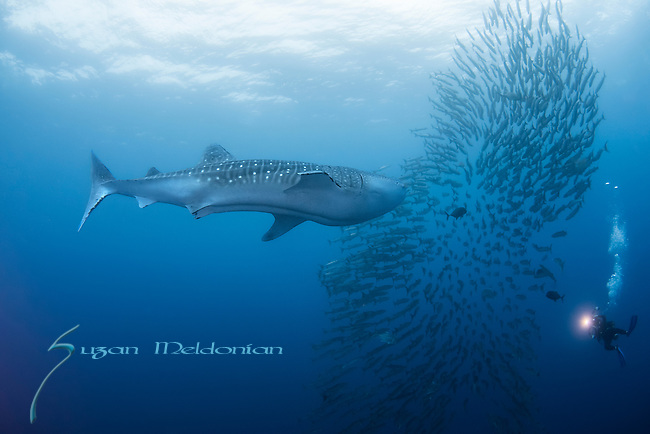 Whale Shark and Barracuda school with a diver lighting the way