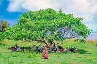 Laysan albatrosses, Phoebastria immutabilis, Midway Island, Northwestern Hawaiian Islands NMS (Pacific Ocean)