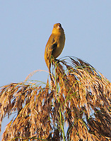 Female white-collared seedeater