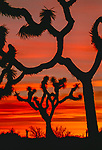 California's Joshua Tree National Park is named for the unique species of yucca that grows in the high Mojave Desert. Here Joshua trees are silhouetted at sunrise.