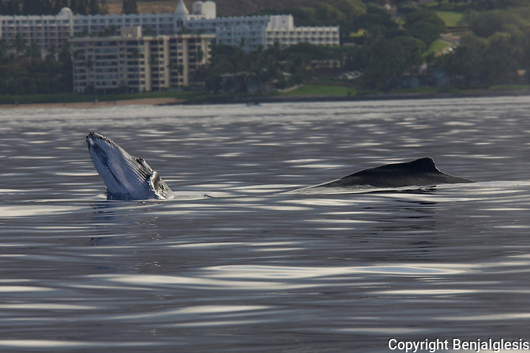 Humback whales swimming around the coast of Maui, Hawaii, during winter months.