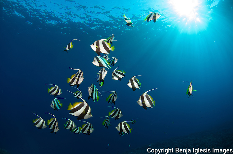 Pennant Butterflyfish in the middle of the blue with some sun rays going through. Mid reef molokini Maui Hawaii.