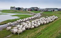 Sheep moving to grazing on salt marshes, Cockerham Marsh, Cockerham, Lancashire.