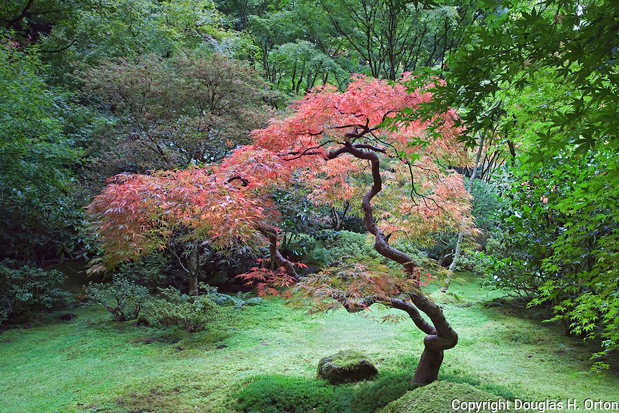 Japanese Maple in Tea Garden.  The Japanese Garden in Portland is a 5.5 acre respit.  Said to be one of the most authentic Japanese Garden's outside of Japan, the rolling terrain and water features symbolize both peace and strength.
