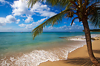 Idyllic Discovery Bay golden sand beach, with a coconut tree above the turquoise Caribbean Sea, under a blue sky with white clouds, Barbados Island