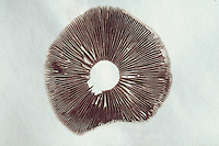 Spore print of a gilled mushroom. To obtain a spore print, the stem of a mushroom is cut at the base of the cap, which is then placed horizontally  on paper. Overnight, millions of spores may drop from the gills and thus be closely examined. Spore color is often an important identification characteristic. The dark purple-brown color of the spores of this individual helps to comfirm it is a Brick Cap mushroom (Hypholoma sublaterititum).