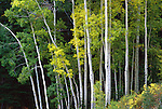 The first hint of yellow tinge the leaves of a grove of aspens on Guardsman's Pass in the Wasatch Mountains, Utah.