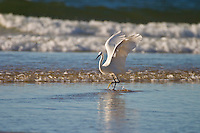 Western Great Egret ( Ardea alba melanorhynchos ) feeds along the beach at Plettenburg Bay in South Africa.