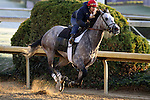 Paddy O'Prado works in preparation for The Breeders' Cup at Churchill Downs. 10.30.2010..photo Ed Van Meter