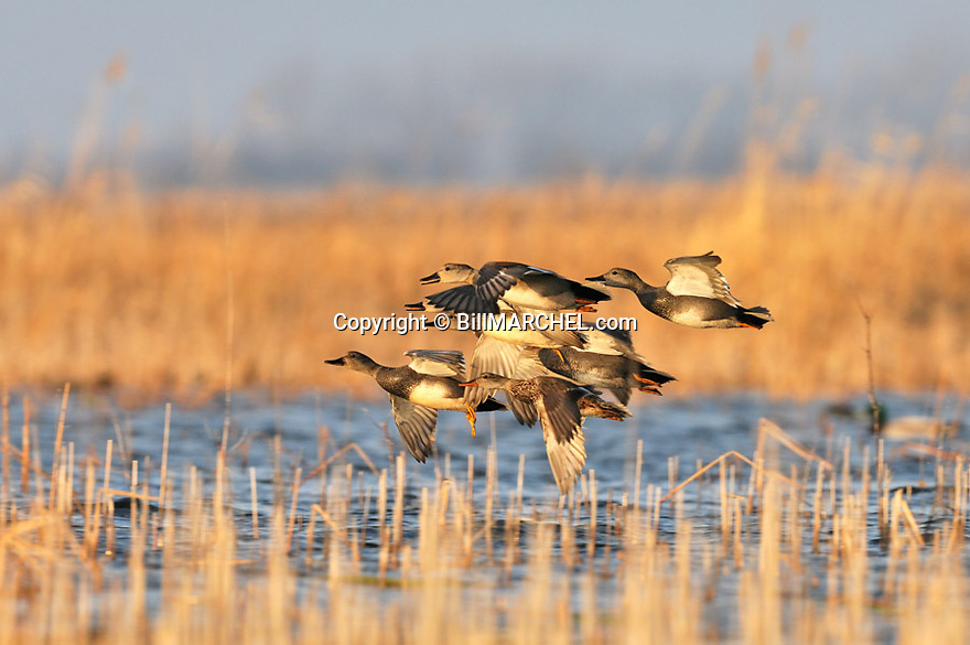 00319-004.02 Gadwall Duck (DIGITAL) flock in flight low over the water of a marsh.  Hunt, waterfowl, fly, action, wetland.  H2L1